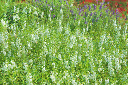 white salvia: white salvia flower in nature, very shallow focus