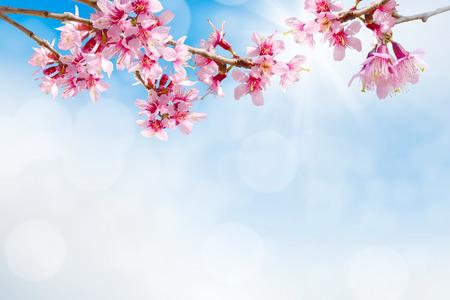 apple blossom: spring sakura pink flower  on sun sky toned abstract background