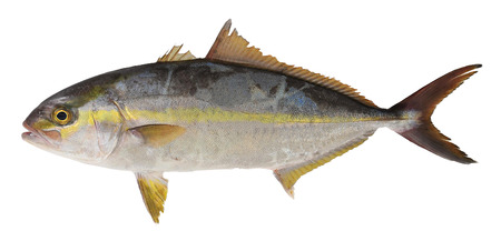 collagen: Trevally fish isolate on white