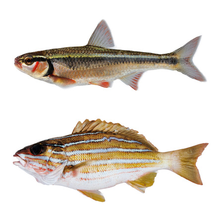 two striped bass fish isolate on white Stock Photo