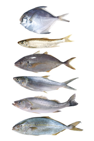 silver perch: fish collection isolated on the white background Stock Photo