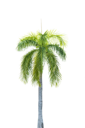 palmtree: Palm tree isolate on white