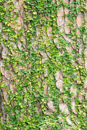 species of creeper: Green leaf fern texture, Nature background
