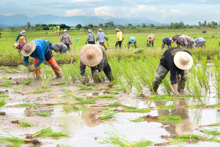 People farmers planted rice seedlings in a field, rural areas and natural. photo