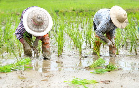 field of thai: Woman farmers planted rice seedlings in a field, rural areas and natural.