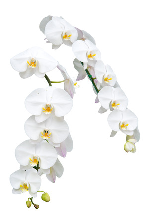 white orchid: White orchid flower isolate Stock Photo