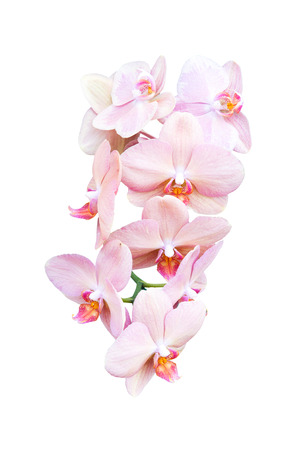 yellow orchid: pink orchid flower isolate on white