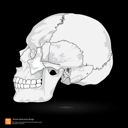 occipital: New Human skull vector design Illustration