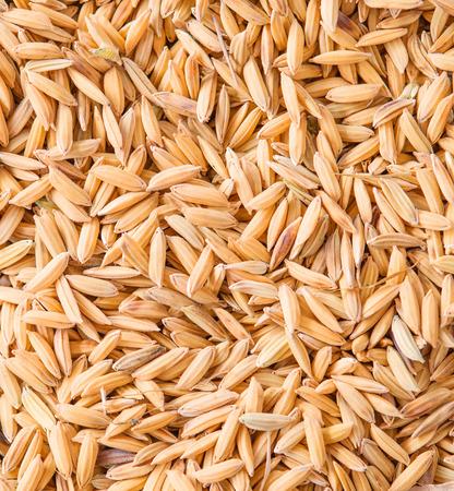 rice paddy: paddy jasmine rice background