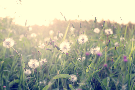 Vintage photo of  Abstract nature background with wild flowers and plants dandelions photo