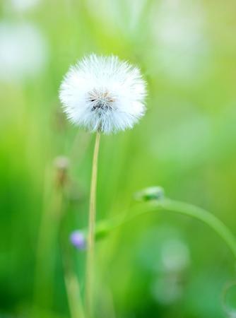 flower close up: close up of dandelion flower Stock Photo
