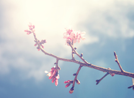 blossom tree: spring sukura pink flower with sun sky vintage color toned abstract nature background Stock Photo