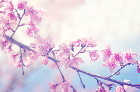 pink cherry: spring sukura pink flower with sun sky vintage color toned abstract nature background Stock Photo