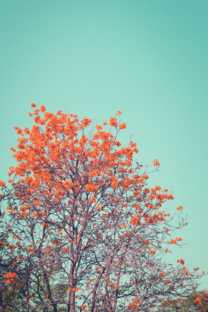 nature of vintage tree red flower in summer with blue sky, Vertical background photo