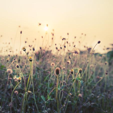 野生の花と夕日の植物、自然の背景のビンテージ写真 写真素材