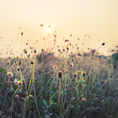 dandelion field: Vintage photo of nature background with wild flowers and plants in sunset
