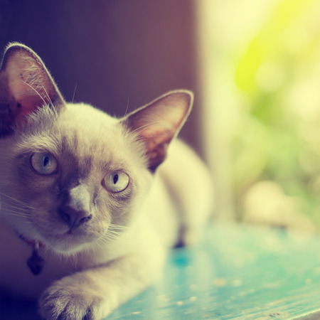 gray cat: Cute Cat absent-minded near window - vintage color effect, soft focus Stock Photo