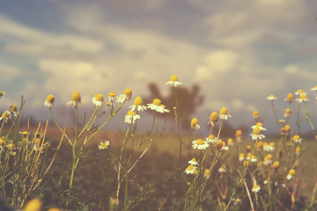 flor de manzanilla vintage, fondo de la naturaleza Foto de archivo