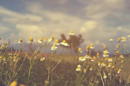 Vintage kamille bloem, natuur achtergrond Stockfoto - 44310729