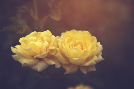 Carte postale vintage de rose jaune Banque d'images - 44310732