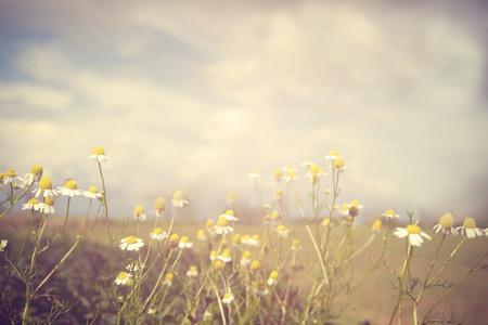 vintage chamomile flower, nature background