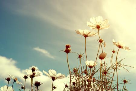 campo de flores: cosmos vendimia flor, la naturaleza de fondo