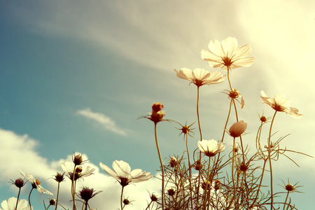 vintage cosmos flower, nature background Stock Photo