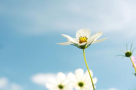 campo de flores: Blanca Flor del cosmos - fondo de cielo azul Foto de archivo