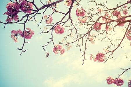 arbol de cerezo: Tree flower in spring, nature background - Vintage filter effect