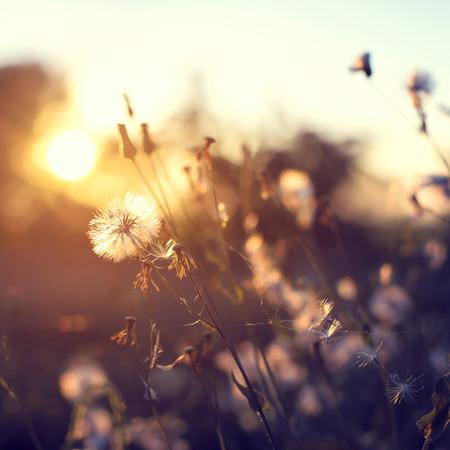 campo de flores: noche la naturaleza de fondo otoño, hermosas flores de diente de león prado en campo en puesta del sol anaranjada. efecto de filtro vintage, punto de enfoque selectivo, profundidad de campo Foto de archivo
