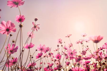 코스모스 꽃 필드의 핑크 톤입니다. 달콤한 및 발렌타인 하루 배경 개념에서 사랑 스톡 콘텐츠