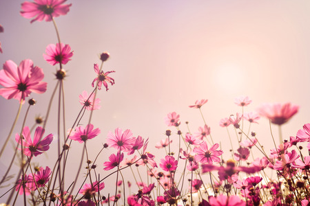 Pink tone of cosmos flower field. Sweet and love in valentine day background concept