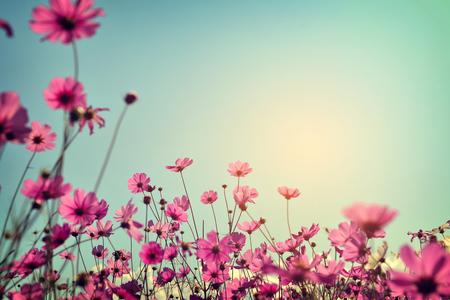 日光の青い空とコスモスの花畑の風景です。ヴィンテージ色のトーン