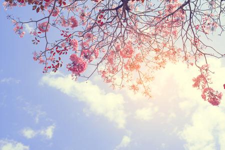 春の静けさとローズ クオーツ ヴィンテージ パステル カラー フィルターで美しいツリー ピンク花の自然の背景 写真素材