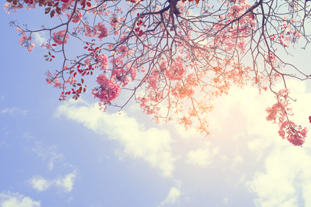 Nature background of beautiful tree pink flower in spring - serenity and rose quartz vintage pastel color filter Archivio Fotografico