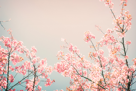 cherry blossom: Nature background of beautiful cherry pink flower in spring - vintage pastel color filter