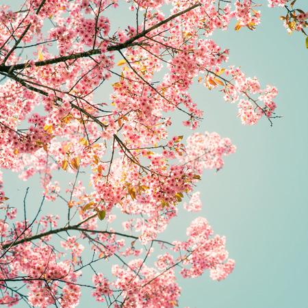 pink skies: Nature background of beautiful sakura pink flower in spring - vintage pastel color filter