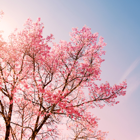 rose quartz: Nature background of beautiful cherry pink flower in spring - serenity and rose quartz color filter Stock Photo