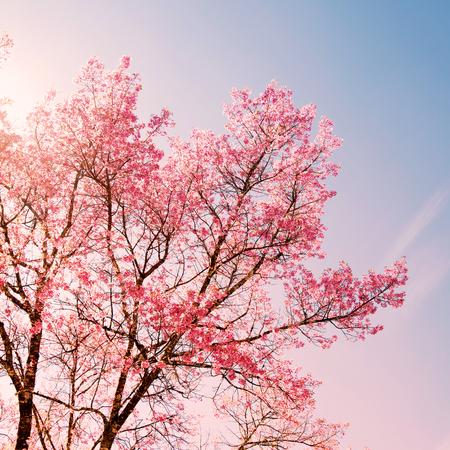 Natuur achtergrond van mooie kersen roze bloem in de lente - sereniteit en rozenkwarts kleurfilter