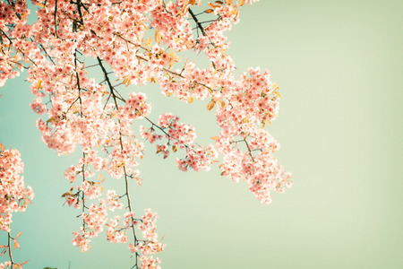fleur de cerisier: Nature fond de la belle cerise fleur rose au printemps - filtre couleur pastel cru