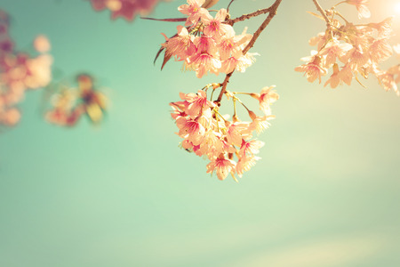 Vintage nature background of beautiful cherry pink flower in spring. pastel color filter effect Stock Photo