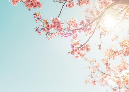 Vintage natuur achtergrond van mooie kersen roze bloem in de lente. pastel kleurfilter effect