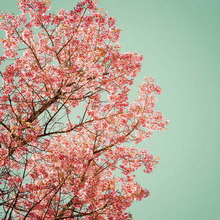 cherry tree: Nature background of beautiful of tree cherry pink flower in spring - vintage pastel color filter