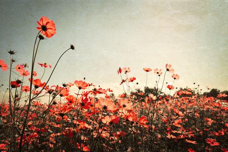 kosmos: Jahrgang Landschaft Natur Hintergrund der schönen Kosmos Blume Feld am Himmel mit Sonnenlicht. Retro-Farbton Filterwirkung Lizenzfreie Bilder
