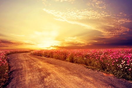 Landscape of beautiful cosmos flower field in sky sunset, vintage and retro filter effect style Imagens