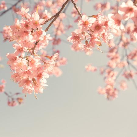 Vintage cherry blossom - sakura flower. nature background Stock Photo