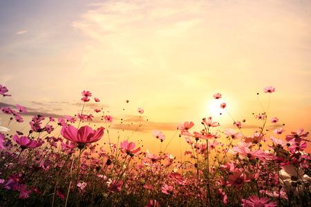 夕日と美しいピンクと赤のコスモス花畑の風景、自然の背景。ヴィンテージ色のトーン