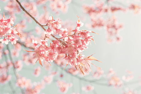 Nature background of beautiful cherry pink flower in spring - vintage pastel color filter