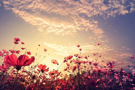 Liggande natur bakgrund vackra rosa och röda kosmos blomma fält med solsken. tappning färgton