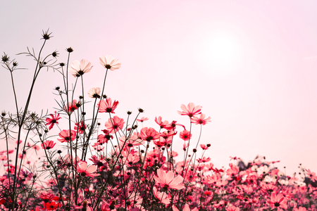 Pink tone of cosmos flower field. Sweet and love background - vintage color filter
